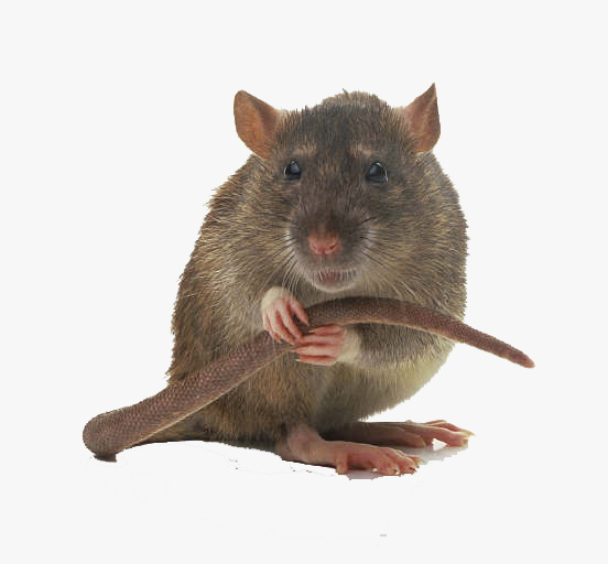 Rodent Control in Roodepoort