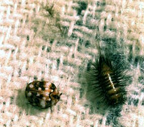 Carpet Beetle Control in Central