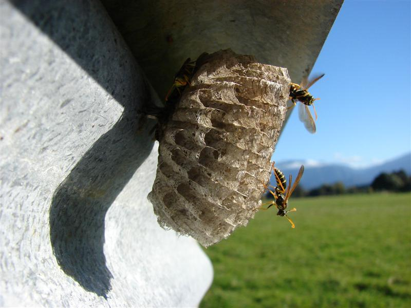 Wasp Control in Bluewater bay