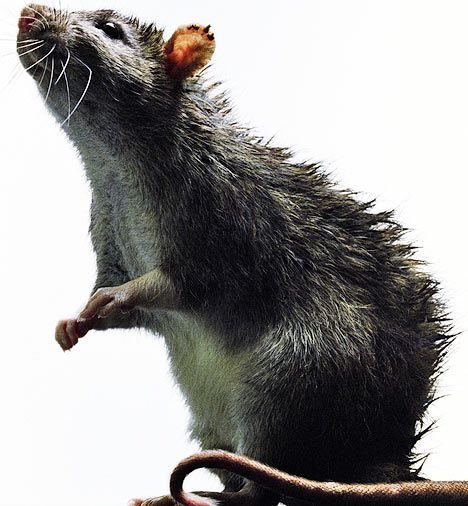 Rat Control in Green bushes